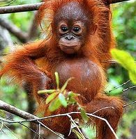 orangutan